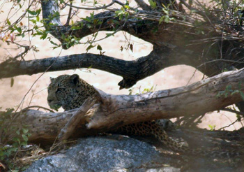 Leopard hiding behind log