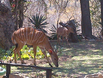 Nyala ewe and lamb eating green shoots of grass near swimming pool