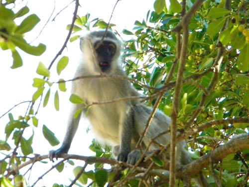 Vervet Monkey at Tremisana