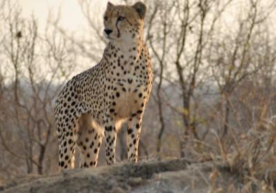 Cheetah in Kruger Park
