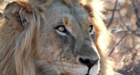 Male lion - King of Balule!