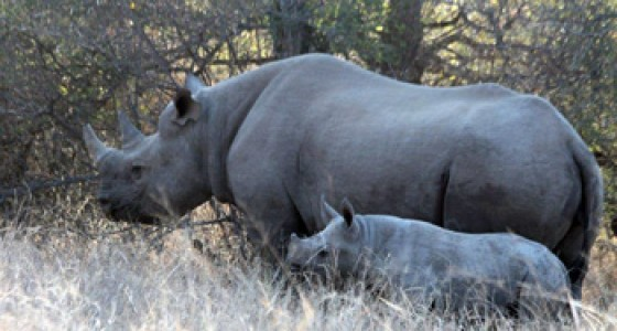 Black Rhino and youngster seen on Bushwalk