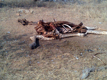 Giraffe killed by lions only 20 metres from Marula Boma