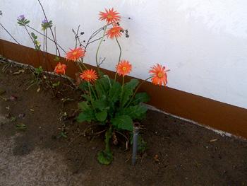 Barbeton daisies at Tremisana Lodge