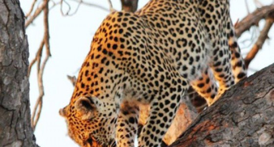 Brilliant sighting of Leopard