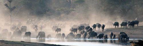 Huge herd of buffalo raising dust on their way to waterhole