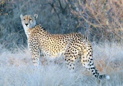 Great shot of a cheetah