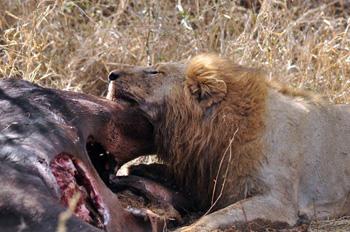 Lion eating buffalo