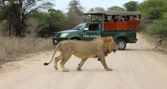 Clients get up close to a lion on a gamedrive in the Kruger Park