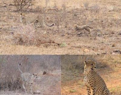 Compilation of Cheetah sightings