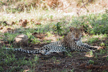 Young male leopard resting in the shade