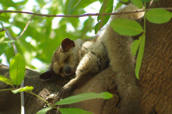 Thick-tailed Bushbaby at Marc's Treehouse Lodge