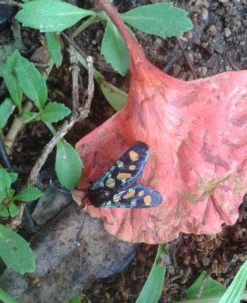 Nyarai's photo of Handmaiden Moth