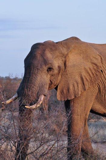 Bull elephant seen on Bush Walk