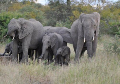 Elephants in the Kruger Park
