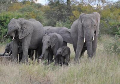 Elephants in the Kruger Park