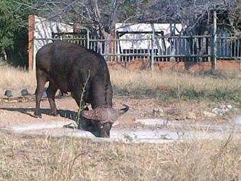 Buffalo drinking from waterhole in front of Tremisana Lodge Lapa