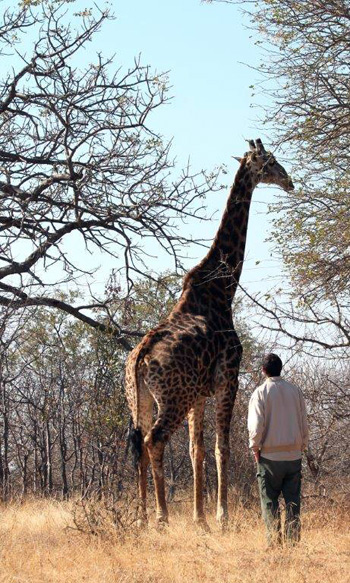 Adam close and personal with giraffe at Tremisana Lodge