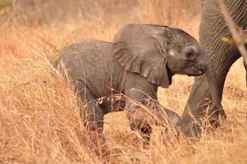 Really young elephant calf