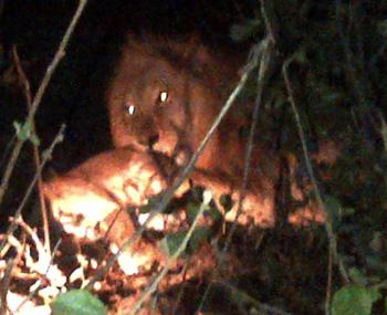Lion feasting on impala at Tremisana Lodge
