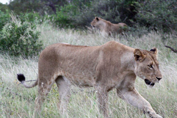 Lionesses near airfield
