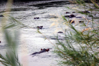 Hippo pod in Olifants River seen on Bushwalk