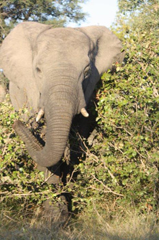 Young bull elephant