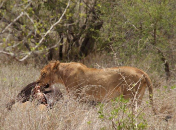 Lioness and buffalo kill.