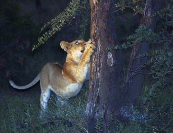 Young lion sharpens nails on tree trunk