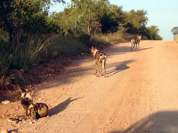 Wild Dogs near Marula Tree Boma