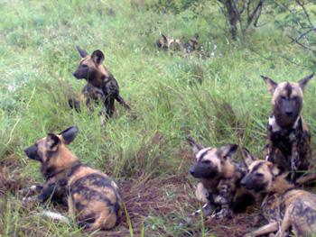 Wild Dogs near Orpen