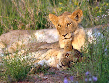 Really close to beautiful lion cubs