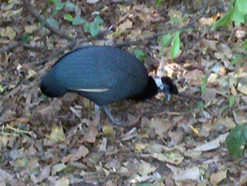 Crested Guineafowl foraging for grubs