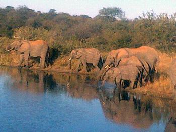 Breeding herd quenching their thirst