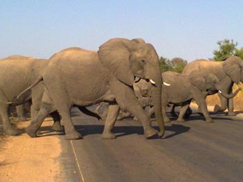 Large herd of elephants