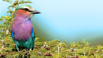The vivid colours of the Lilac-breasted Roller allow for immediate identification