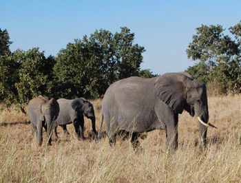Mother elephant and youngsters
