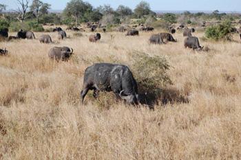 Buffalo herd near Satara