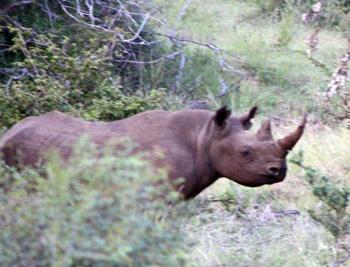 Black Rhino bull