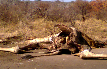 Giraffe carcass right on the road