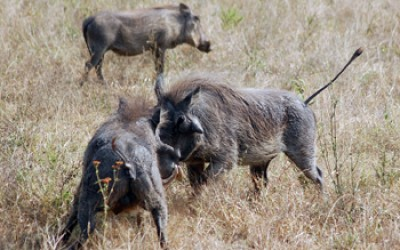 Warthogs having a disagreement