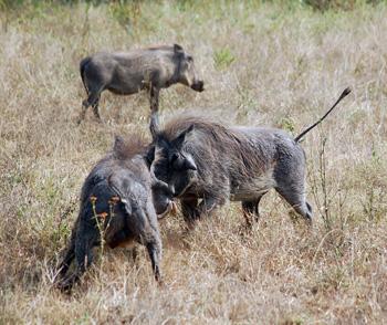 Warthogs having a disagreement