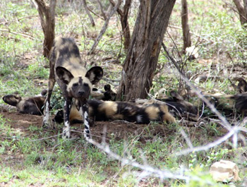 Wild Dogs stretching before the hunt.