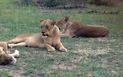 Lionesses resting after a good meal of Kudu