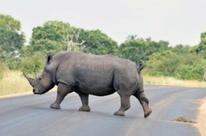 Rhino Bull right on the road