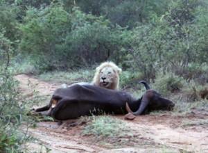 Lion seen on Champagne Breakfast Drive