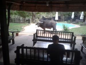 Buffalo near Marc's Camp swimming pool