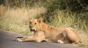 Lioness really close to us on the tarred road