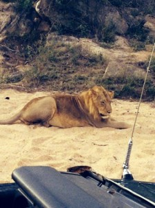 Lion really near to our Landcruiser