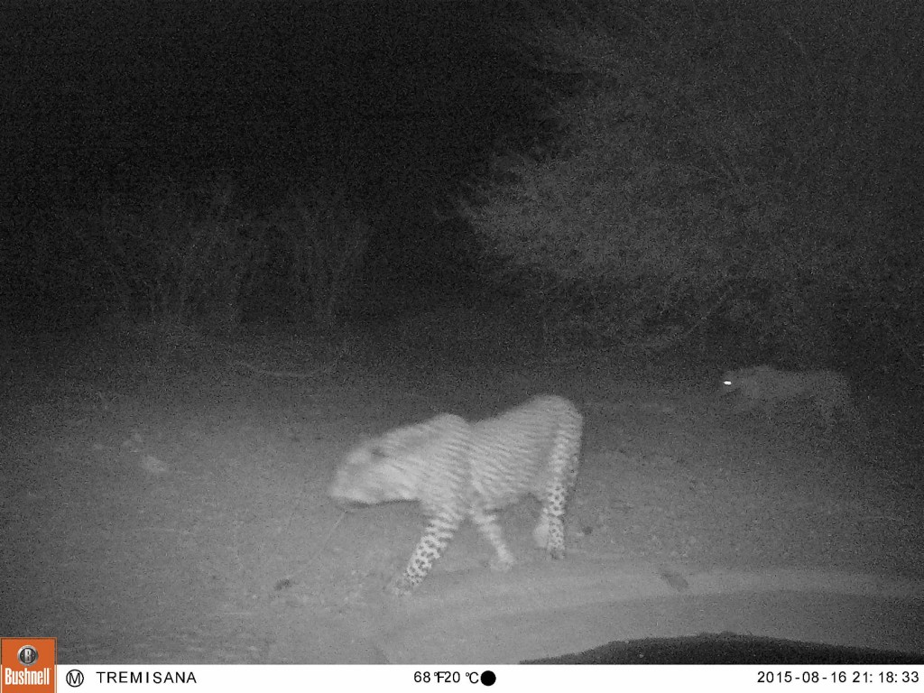 Male and female leopard snapped at Tremisana's illuminated waterhole by our trap cam!